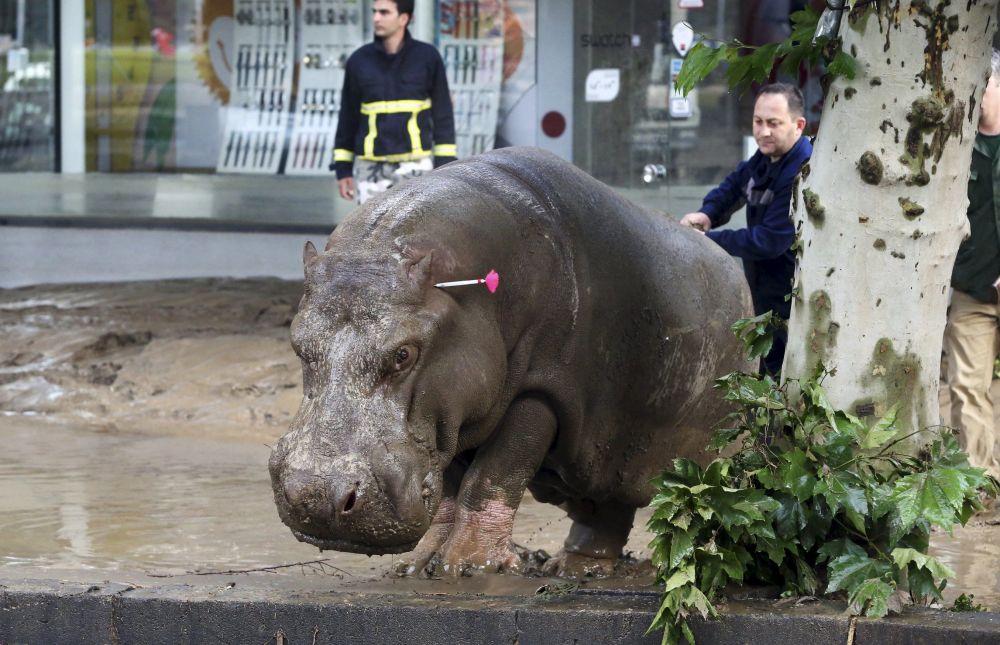 Um socorrista mostra o caminho a um hipopótamo desviado que tinha fugido do zoológico após este ser destruído pela inundação que atingiu no final da semana passada a capital georgiana
