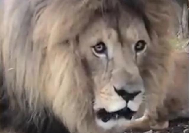 Homem corajoso filma leão rugindo do seu lado
