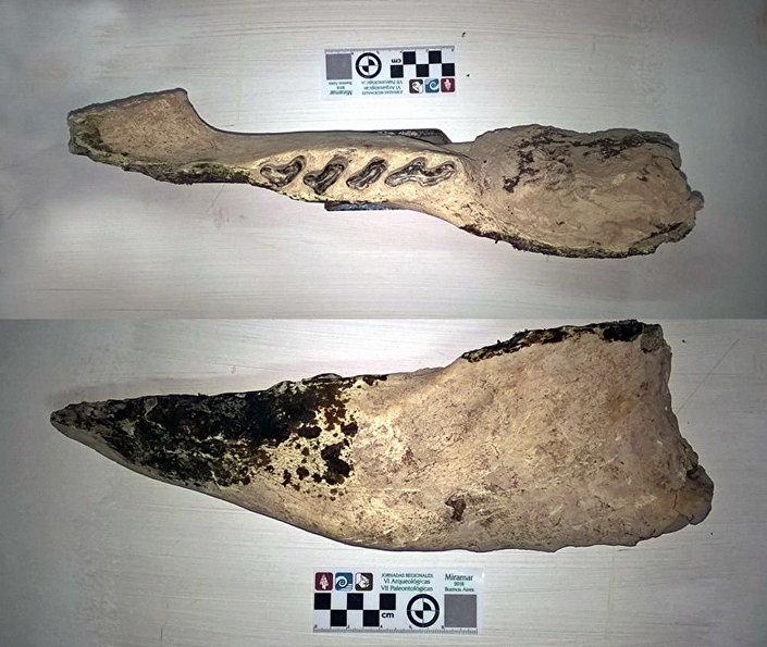 Fragmentos do maxilar inferior de preguiça Scelidotherium, já extinta