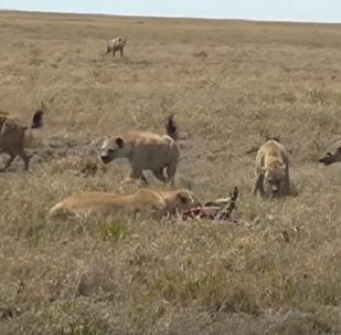 Hienas cercam leoa e roubam sua presa