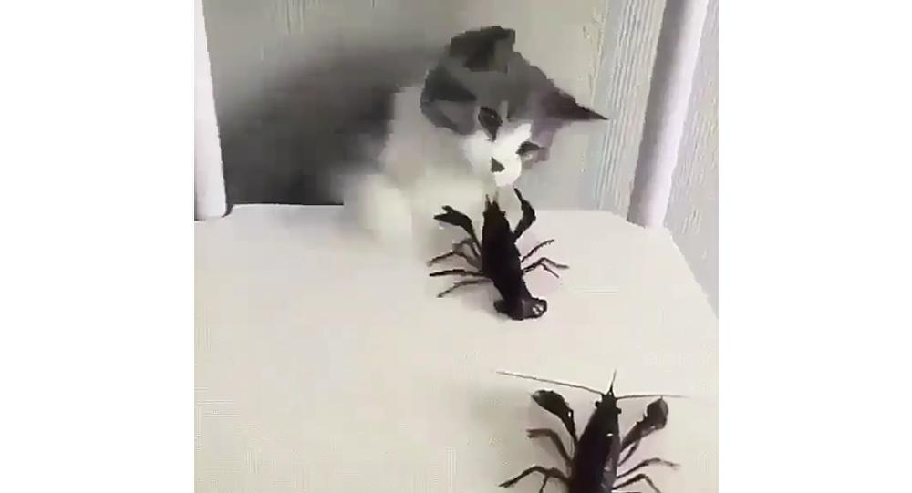 Gato brinca com lagostins sobre a cadeira