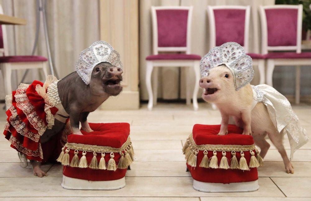 Mini porcos durante apresentação em Balashikha, Rússia