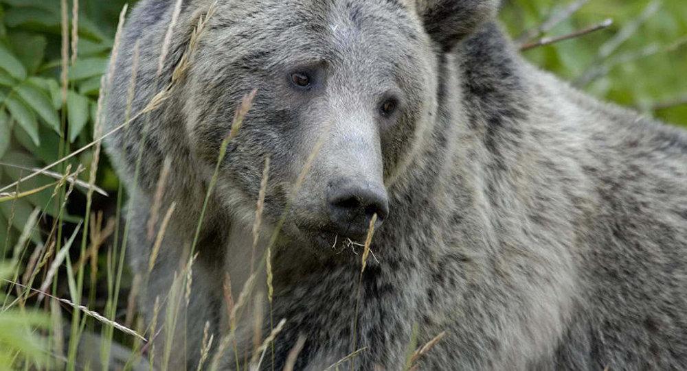 Urso (imagem de arquivo)