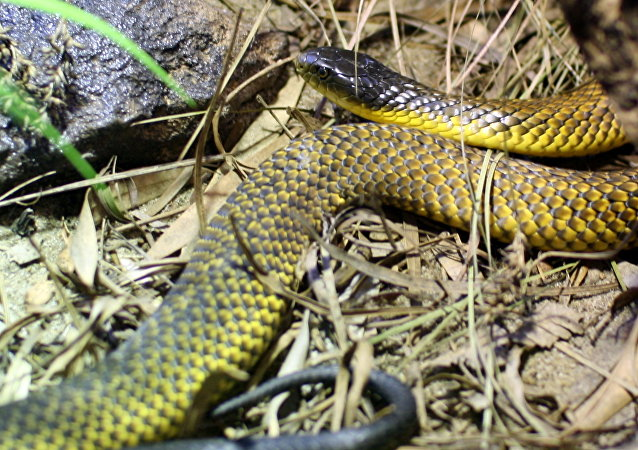 Cobra-tigre (Notechis scutatus), imagem referencial