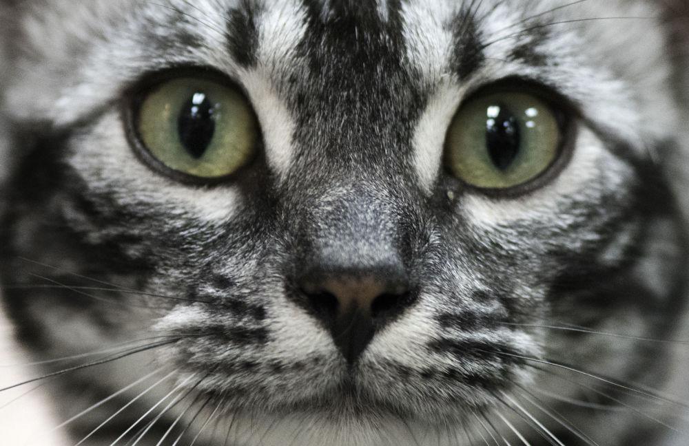 Gato na exibição internacional Feline, na Costa Rica, onde participaram inclusive representantes dos EUA, da Alemanha e do Brasil