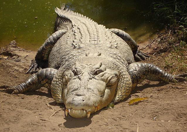crocodilo de água salgada (imagem de arquivo)