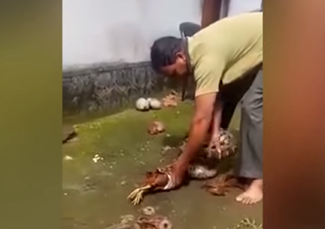 Сapturador de serpentesforça píton a regurgitar duas galinhas inteiras (IMAGENS FORTES)