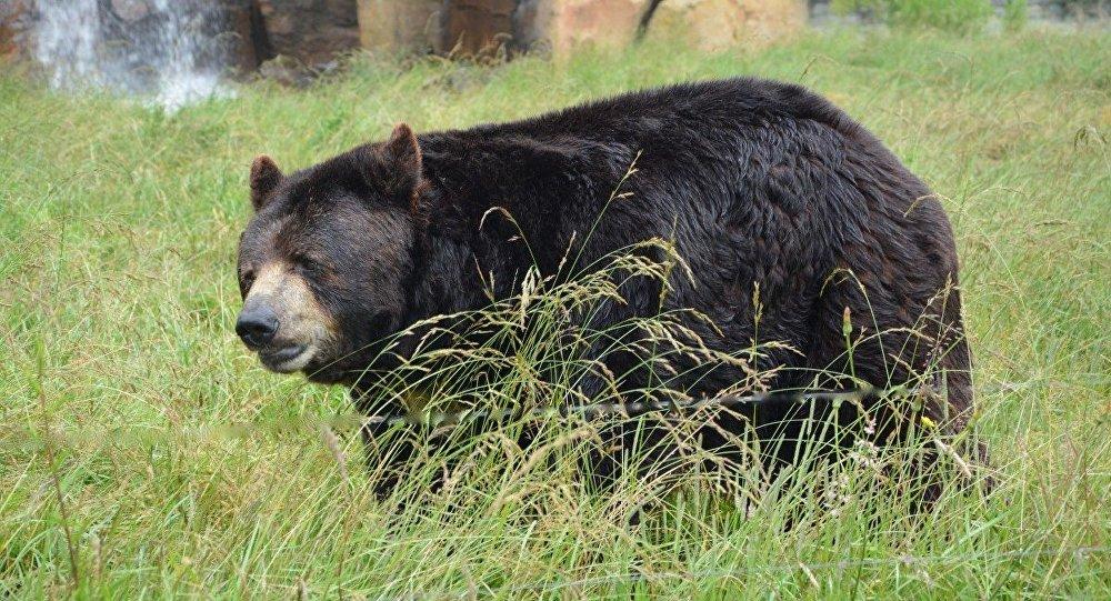 Urso-negro (imagem referencial)