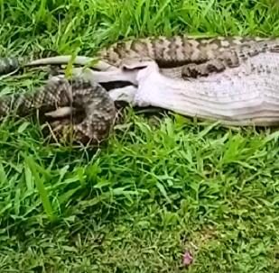 Píton engole canguru inteiro na Austrália