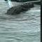 Jacaré sobe em bote inflável na Flórida