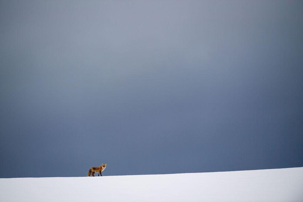 Raposa em campo coberto de neve em Erkenbollingen, sul da Alemanha, em 11 de fevereiro de 2019