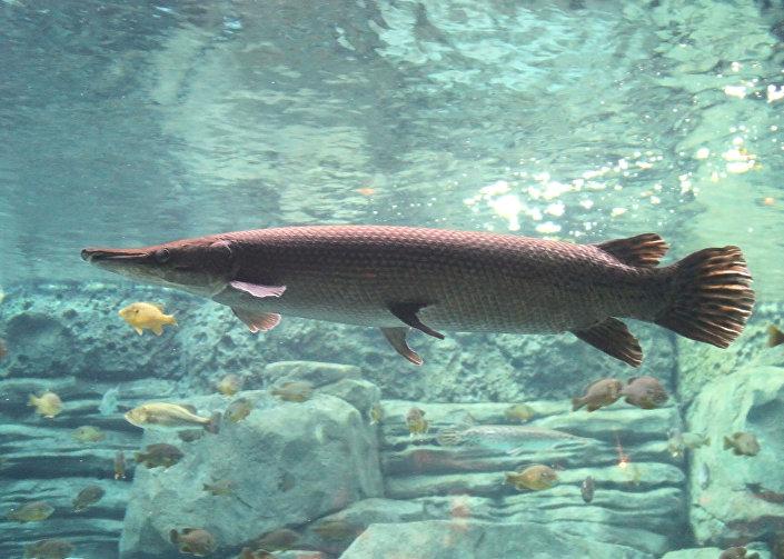 Peixe-jacaré