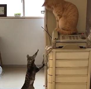Gato joga peixe na cara de amigo