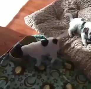 Cachorrinho dançando enquanto come sua comida