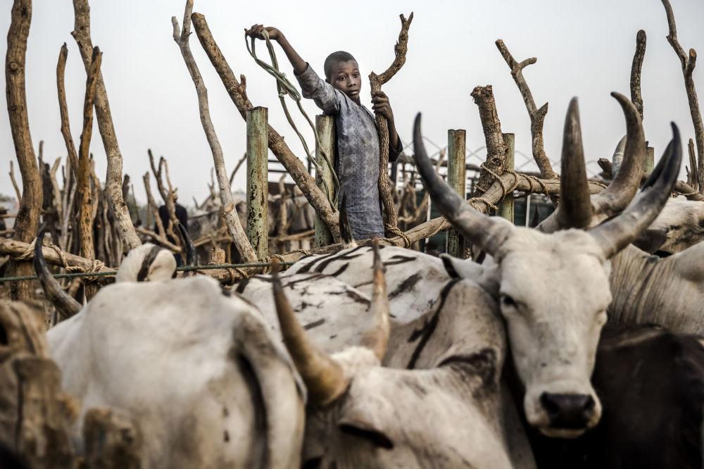 Pequeno arrieiro em um mercado de Ngurore, Nigéria
