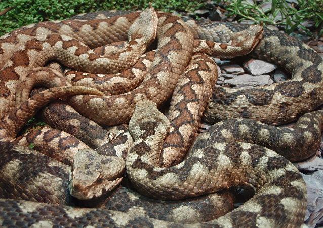 Cobras (imagem referencial)