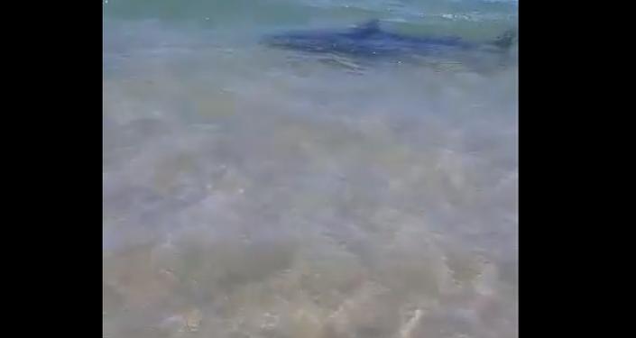 Tubarão cabeça-chata é filmado a poucos metros de praia sul-africana