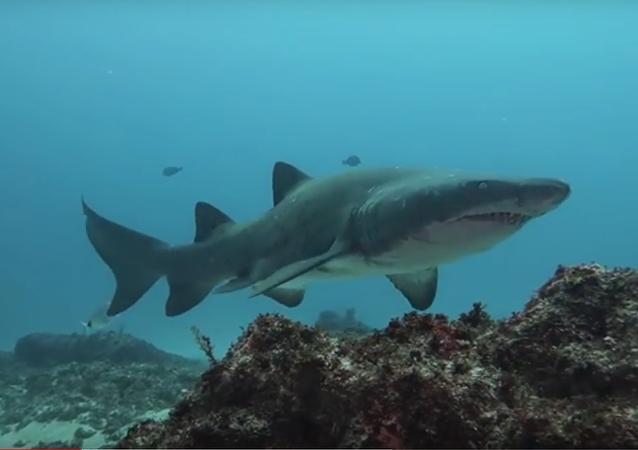 Mergulhador se enfrenta cara a cara com tubarão-tigre