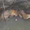 2 leopardos são resgatados de poço de 15 m na Índia