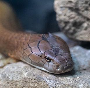 Cobra-real da Índia