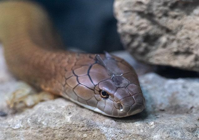 Cobra-real da Índia (imagem referencial)