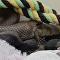 Cobra devora lagarto