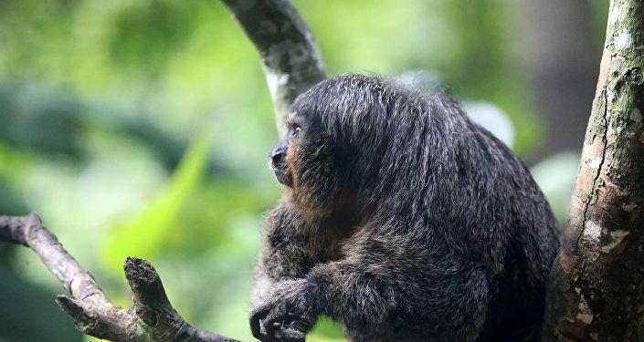 Parauacu, espécie de primata (imagem referencial)