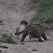 Mangusto se descuida e por pouco não cai nas garras de jovem leopardo
