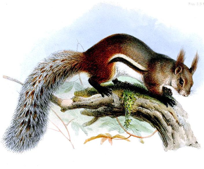 Esquilo vampiro da espécie Rheithrosciurus macrotis
