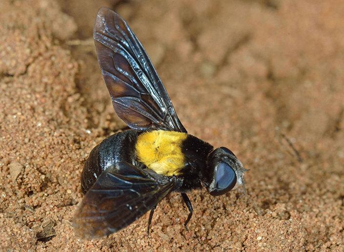 Mosca da África do Sul (Marleyimyia xylocopae)
