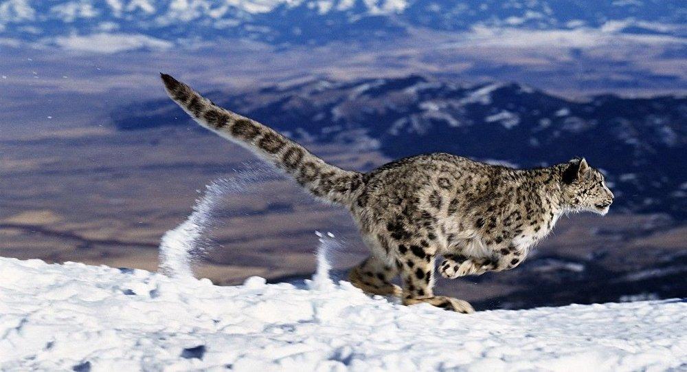 Leopardo-das-neves correndo na neve (imagem referencial)