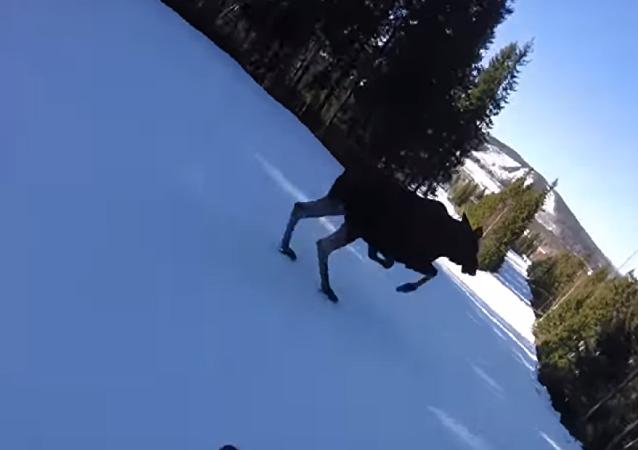 Alce invade pista de esqui e quase é atropelado