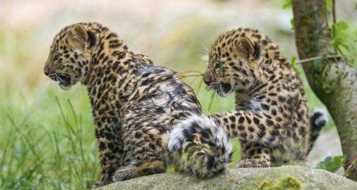 Filhotes de leopardo (imagem referencial)