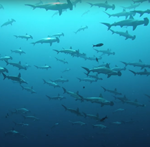 Tubarões-martelo perto das ilhas Galápagos