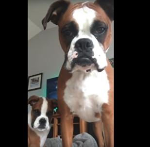 Cadela briga com tablet para proteger filhote