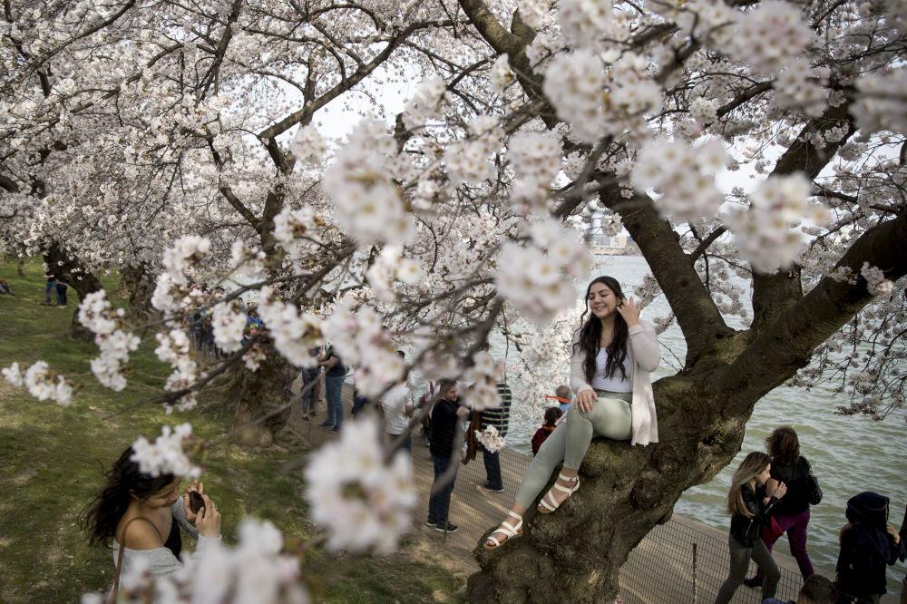 Uma cerejeira na margem da enseada em Washington