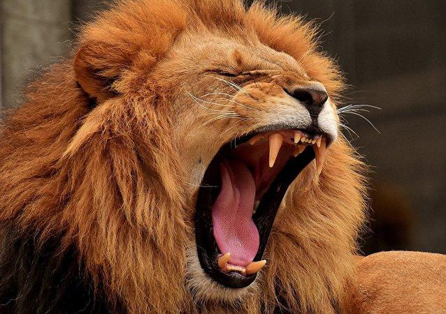 Leão (imagem de arquivo)