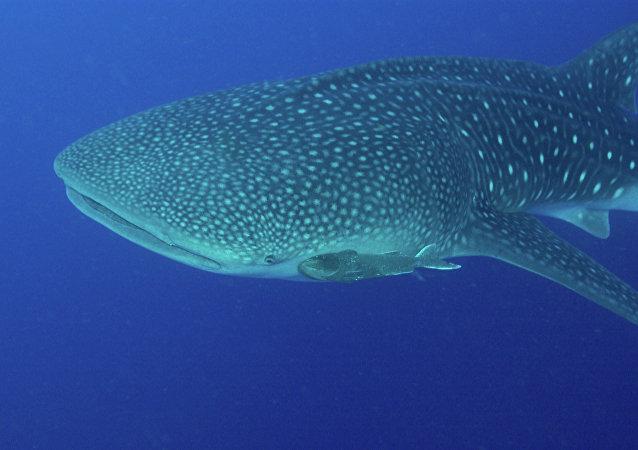 Tubarão-baleia (Rhincodon typus)