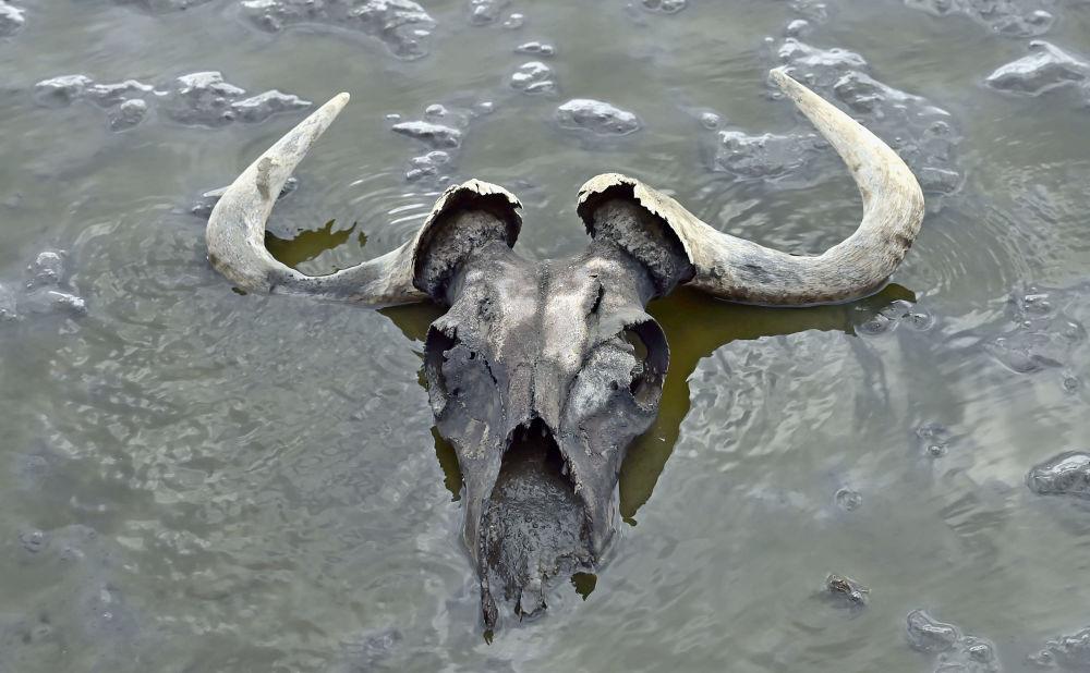 Crânio de gnu em lago da Tanzânia