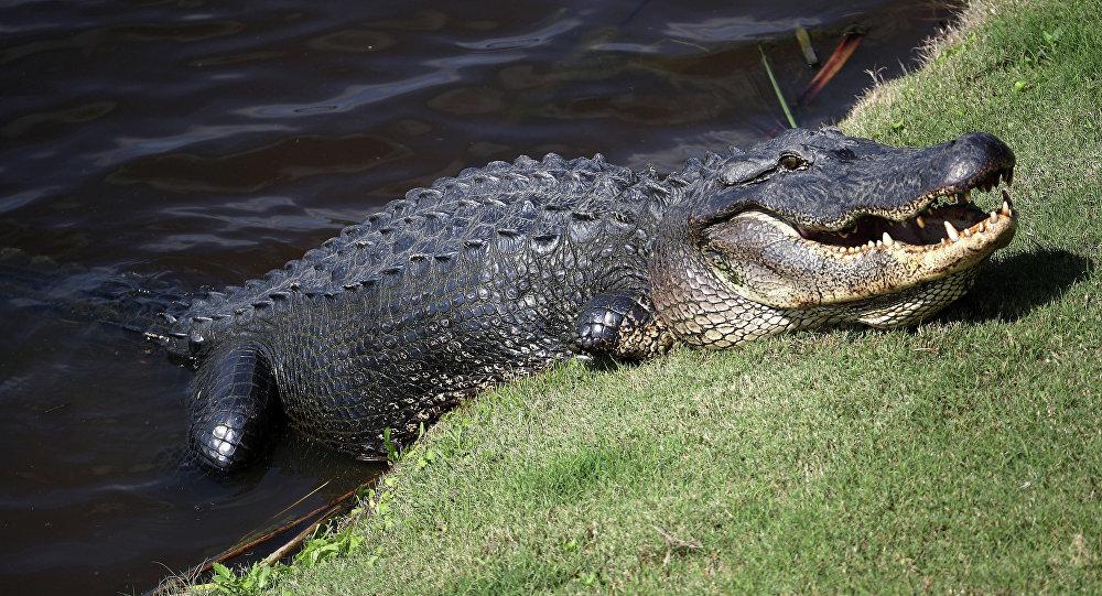 Jacaré no lago (imagem de arquivo)