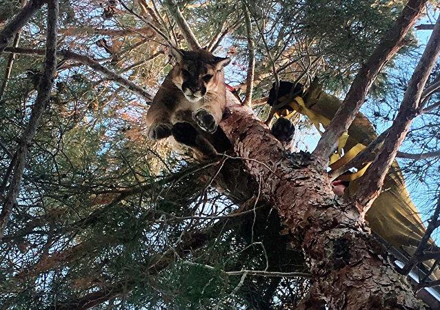 Leão da montanha preso em árvore na cidade de Hesperia, no estado norte-americano da Califórnia, 16 de fevereiro de 2019 (imagem referencial)
