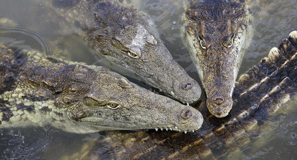 Crocodilo-do-Nilo (Crocodylus niloticus) na aldeia de Velky Karlov, no sudeste da República Checa, 25 de maio de 2011