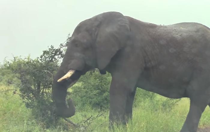Elefante em fúria ataca veículo subitamente