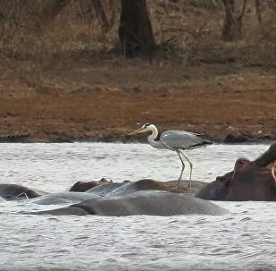 Ave descanso sobre hipopótamo na África