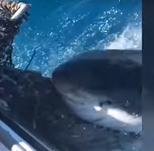Tubarão morde rede de pesca