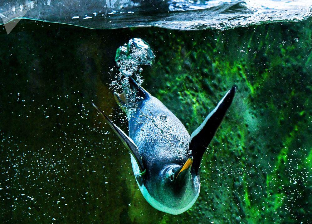 Pinguim no Jardim Zoológico de Moscou