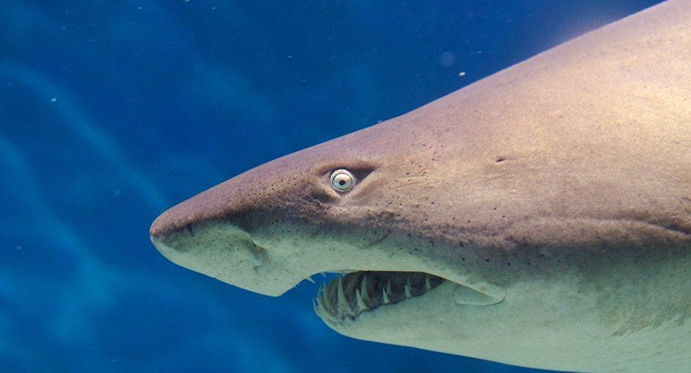 Tubarão-touro