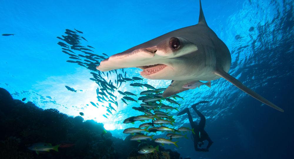 Tubarão-martelo (imagem referencial)