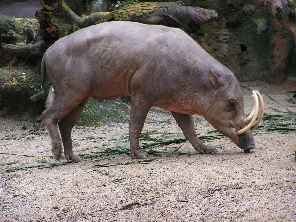 Babirussa é uma espécie de mamífero, endêmica da Indonésia