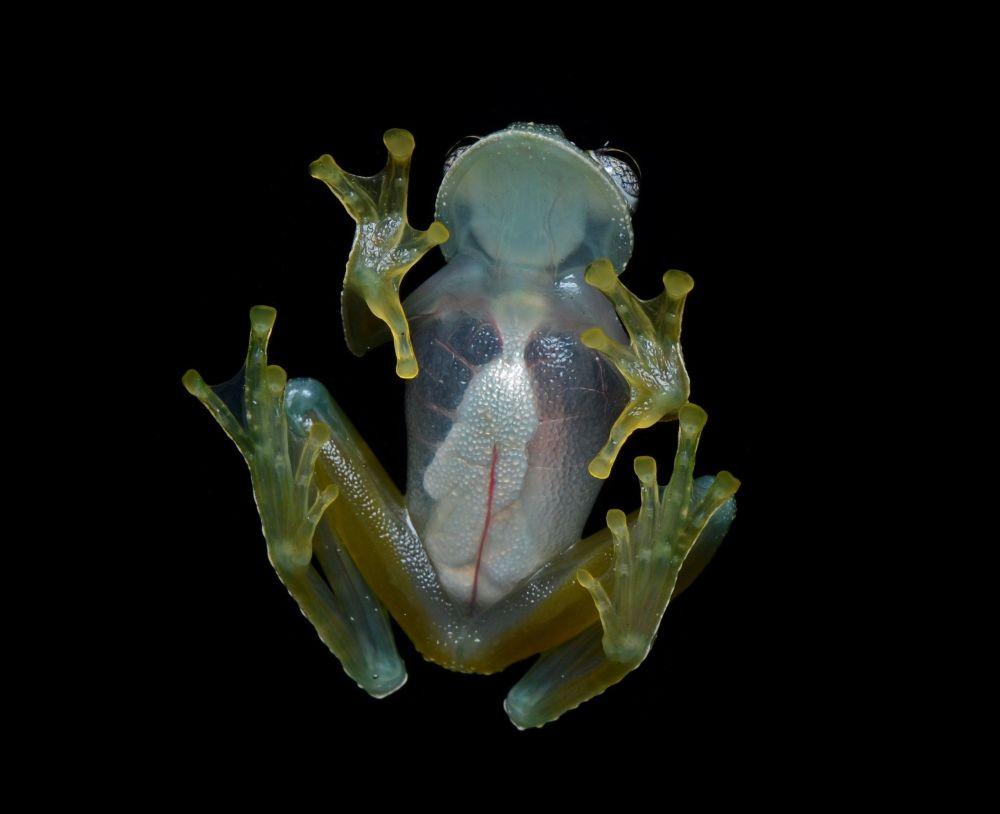Rã de vidro habita as florestas húmidas da América Central e os países mais a norte da América do Sul